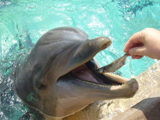 dolphin_feeding_by_gradam.jpg